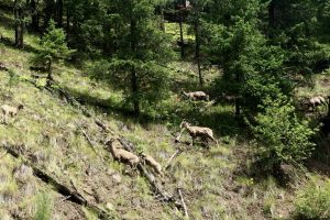 Image 20 Bighorn sheep are often seen above Chase Creek Canyon